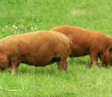 Young Kune Kune Pigs In A Meadow Photo By: David Merrett Https://creativecommons.org/licenses/by-Sa/2.0/