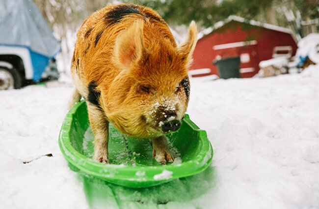 A pet Kune Kune pig on a sled!Photo by: Will Thomas of Forge Mountain Photohttp://forgemountainphoto.com/