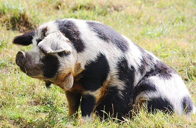 A Kune Kune sow lounging in the sun Photo by: Tamsin Cooper https://creativecommons.org/licenses/by-sa/2.0/