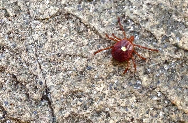 A female Lone Star Tick on a granite rock Photo by: Fritz Flohr Reynolds https://creativecommons.org/licenses/by/2.0/
