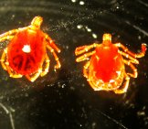 Female (Left) And Male Lone Star (Right) Adult Lone Star Ticks Photo By: Uacescomm Https://creativecommons.org/licenses/by/2.0/