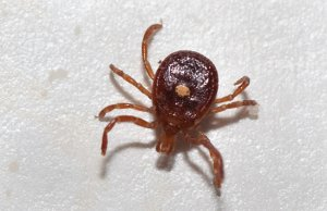 Lone Star Tick, plucked from a hikerPhoto by: Elizabeth Nicodemushttps://creativecommons.org/licenses/by/2.0/