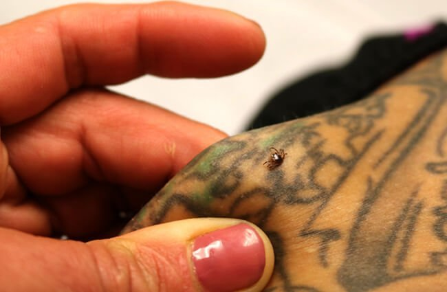 A Lone Star Tick found embedded into a hiker's skin. Photo by: NIAID https://creativecommons.org/licenses/by/2.0/