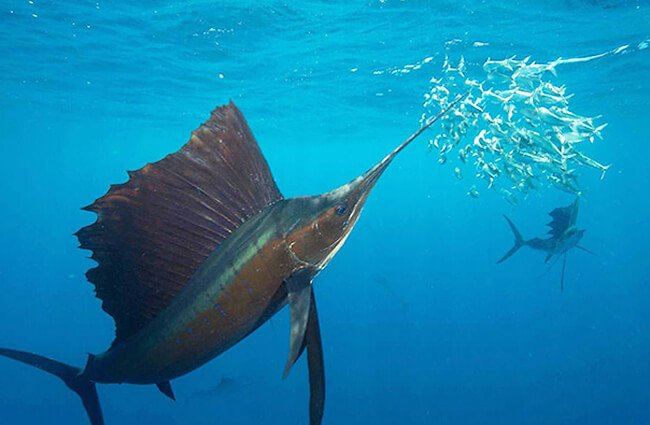 Sailfish hunting sardines in the open ocean off the coast of Mexico. Photo by: Rodrigo Friscione / NOAA's National Ocean Service [public domain] https://creativecommons.org/licenses/by-sa/2.0/