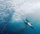A Sailfish Hunting Smaller Fish Photo By: Jidanchaomian Https://creativecommons.org/licenses/by-Sa/2.0/