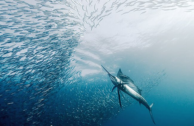 A Sailfish hunting smaller fish Photo by: jidanchaomian https://creativecommons.org/licenses/by-sa/2.0/