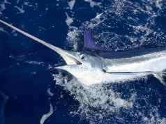 Beautiful White Marlin Photo by: (c) lunamarina www.fotosearch.com