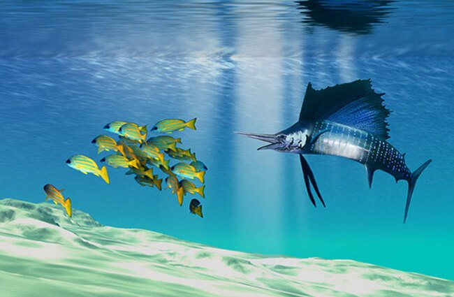 A Sailfish hunts colorful prey on a sandy reef Photo by: (c) Catmando www.fotosearch.com