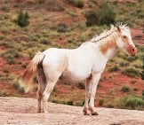 A Wild Mustang Stallion Photo By: Rennett Stowe Https://creativecommons.org/licenses/by/2.0/