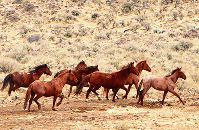 A herd of wild Mustangs in eastern Oregon Photo by: Bureau of Land Management Oregon and Washington https://creativecommons.org/licenses/by/2.0/