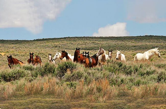A herd of feral mustangs Photo by: Colorado Bureau of Land Management https://creativecommons.org/licenses/by/2.0/