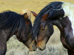 Wild Mustangs meeting on a Wyoming prairiePhoto by: Steppinstars from Pixabayhttps://pixabay.com/photos/wild-horses-wyoming-wild-mustangs-70249/