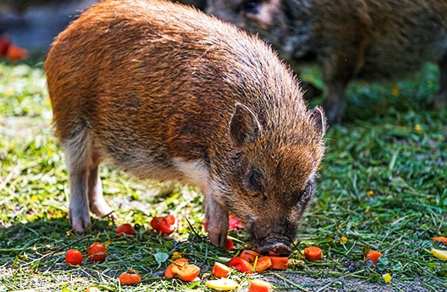 Brown Pig eating tomatoes Photo by: Tambako The Jaguar https://creativecommons.org/licenses/by-nd/2.0/
