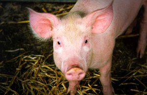 A handsome pig posing for a picPhoto by: Nick Saltmarshhttps://creativecommons.org/licenses/by-nd/2.0/