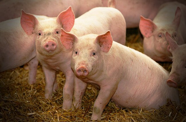 Pigs Photo by: K-State Research and Extension https://creativecommons.org/licenses/by-nd/2.0/