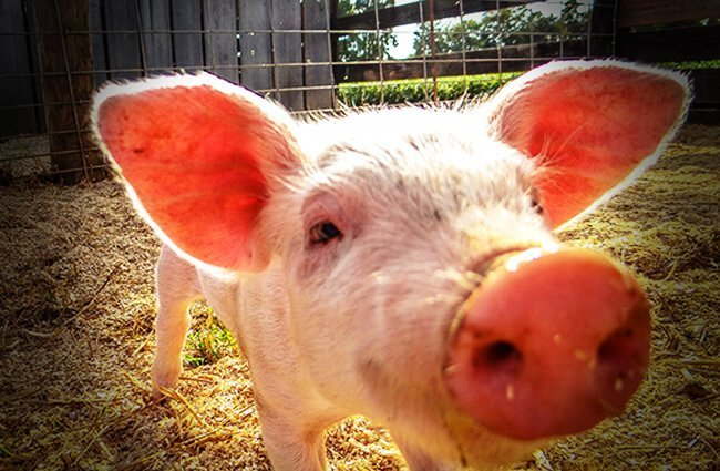 Closeup of a pigPhoto by: Joshua Berryhttps://creativecommons.org/licenses/by-nd/2.0/
