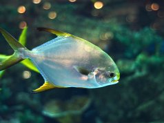 Pomfret in a saltwater aquariumPhoto by: (c) syaber www.fotosearch.com