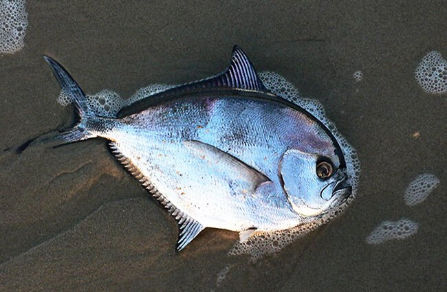 Braam fish, which is a Pomfret Photo by: Koggge CC BY-SA (https://creativecommons.org/licenses/by-sa/3.0)