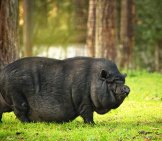 Pot Bellied Dwarf Pig In A Forestphoto By: Andrea Stöckel-Kowall From Pixabayhttps://pixabay.com/photos/pot-Bellied-Pig-Dwarf-Pig-4641246/