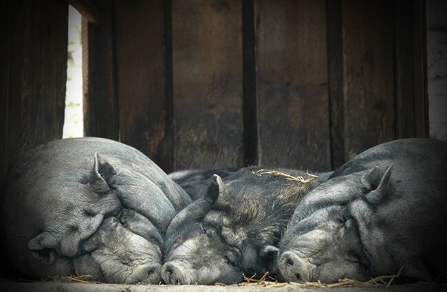 Pot Belly pigs napping Photo by: Christian Butzmann from Pixabay https://pixabay.com/photos/lazy-sow-pig-alpine-wildlife-park-2346205/