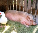 Pot Belly Pig And A Duck Photo By: Mark Pilgrim Https://creativecommons.org/licenses/by-Sa/2.0/