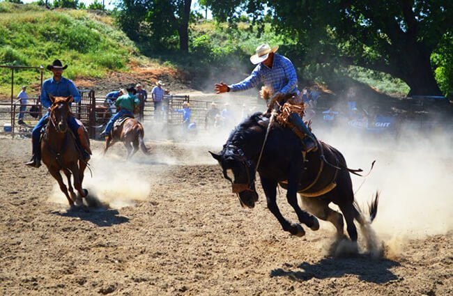 Quarter Horse in a rodeo Photo by: Debora Delaney from Pixabay https://pixabay.com/photos/talahi-jump-jumping-bucking-buck-732385/
