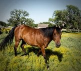 Quarter Horse Gelding At Pasture On A Ranch Photo By: Skeeze From Pixabay Https://pixabay.com/photos/quarter-Horse-Ranch-Agriculture-754719/