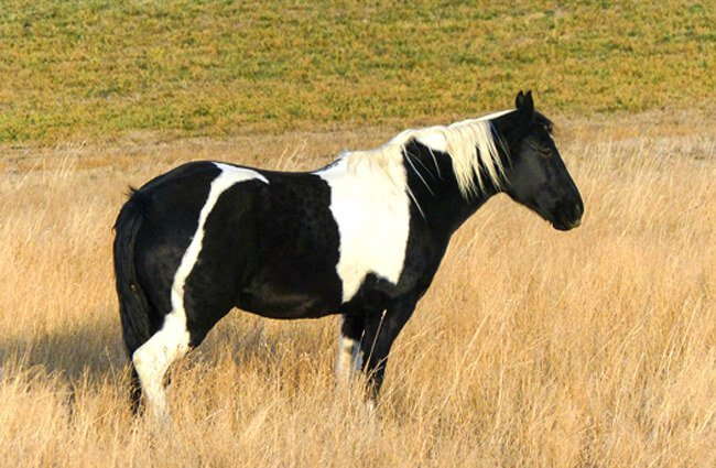 A beautiful paint Quarter Horse in a pasture Photo by: ArtTower from Pixabay https://pixabay.com/photos/quarter-horse-horse-painted-horse-258669/