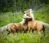 A Pair Of Palomino Quarter Horses Wrestling Photo By: Arttower From Pixabay Https://pixabay.com/photos/quarter-Horse-Fighting-Mammal-532956/