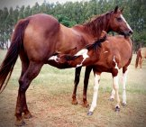 Quarter Horse Mare Nursing Her Foal Photo By: Andrediniz Dé From Pixabay Https://pixabay.com/photos/stallion-Horse-Colt-Mare-2869705/