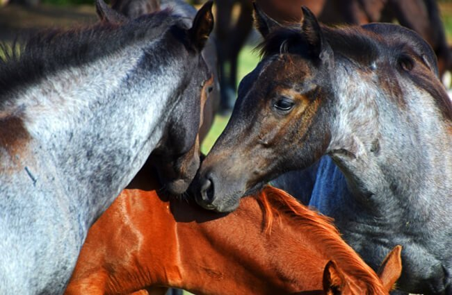 A pair of blue roan Quarter Horses greeting one another Photo by: Wayne Decker from Pixabay https://pixabay.com/photos/horse-filly-blue-roan-friends-kiss-4562199/