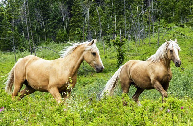 Palomino Quarter Horses in a field Photo by: ArtTower from Pixabay https://pixabay.com/photos/quarter-horses-mammal-animal-meadow-3687379/