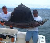 Large Sailfish Catch Off The Coast Of Nicaragua Photo By: Michael.stockton Https://creativecommons.org/licenses/by/2.0/
