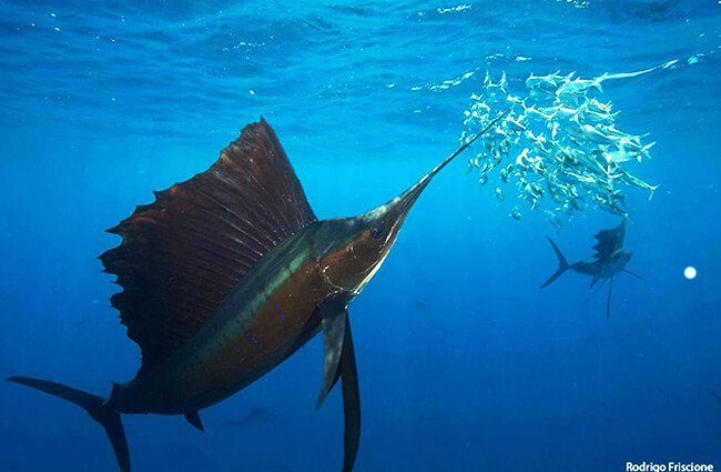 Sailfish hunting sardinesPhoto by: Rodrigo Friscione / NOAA's National Ocean Service [public domain]https://creativecommons.org/licenses/by/2.0/