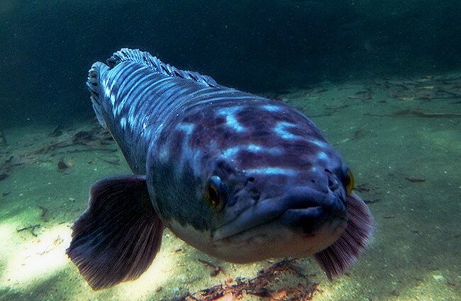 Giant SnakeheadPhoto by: Schristiahttps://creativecommons.org/licenses/by/2.0/