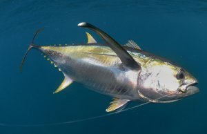Yellowfin Tuna hooked by a fishermanPhoto by: (c) ftlaudgirl www.fotosearch.com