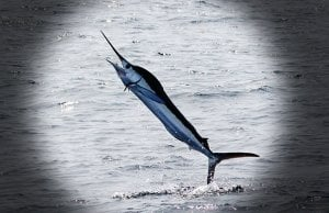White Marlin leaping out of the waterPhoto by: Dominic Sheronyhttps://creativecommons.org/licenses/by-sa/2.0/