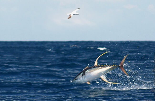 Yellowfin Tuna, jumping and diving Photo by: NOAA FishWatch (see Gallery) / Public domain