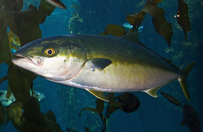 Yellowtail Amberjack, or Great AmberjackPhoto by: Brian Gratwickehttps://creativecommons.org/licenses/by/2.0/