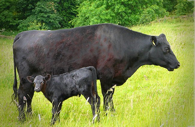 Black Angus cow and calf Photo by: Tim Green https://creativecommons.org/licenses/by/2.0/