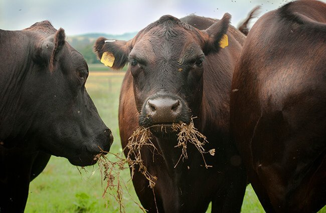 Black Angus cows are grazing on organic pastures Photo by: Photo by: U.S. Department of Agriculture [public domain] https://creativecommons.org/licenses/by/2.0/