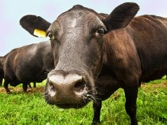 Curious Black Angus steerPhoto by: U.S. Department of Agriculture [public domain]https://creativecommons.org/licenses/by/2.0/