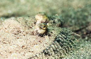 Black Sole under the sandPhoto by: (c) stephankerkhofs www.fotosearch.com