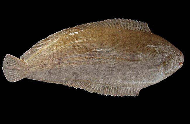 Dover Sole Photo by: © Hans Hillewaert
