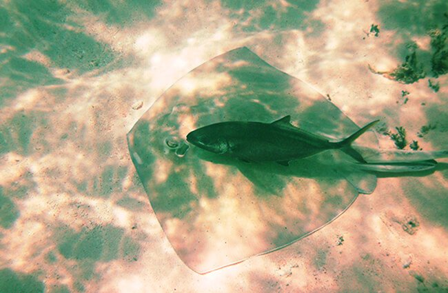 A Blue Runner shadowing this ray around everywhere! Photo by: ScubaBear68 https://creativecommons.org/licenses/by-sa/2.0/