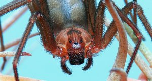 Ultra-closeup of a female Brown Recluse spiderPhoto by: Mike Keelinghttps://creativecommons.org/licenses/by/2.0/