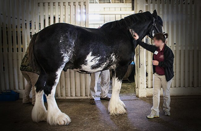 Beautiful black and white Clydesdale being groomed Photo by: David Shane https://creativecommons.org/licenses/by/2.0/