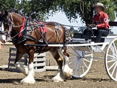 Clydesdale pulling a cart at showPhoto by: Jeanhttps://creativecommons.org/licenses/by/2.0/