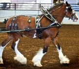 A Beautiful Clydesdale Kitted Out To Pull A Cart Photo By: Jean Https://creativecommons.org/licenses/by/2.0/