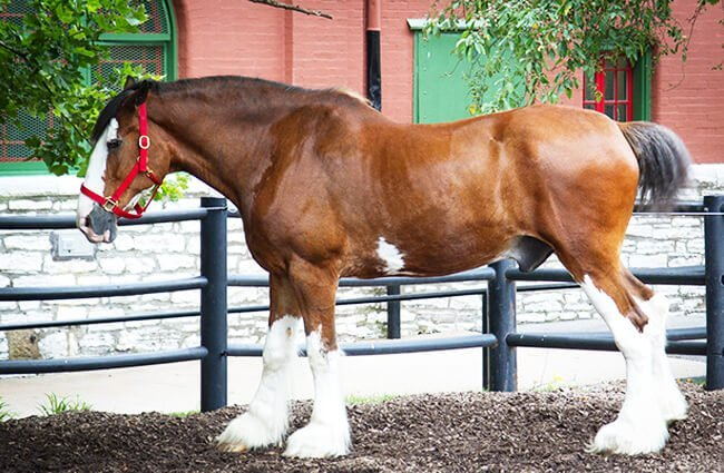 Clydesdale Photo by: Mitch Bennett https://creativecommons.org/licenses/by/2.0/
